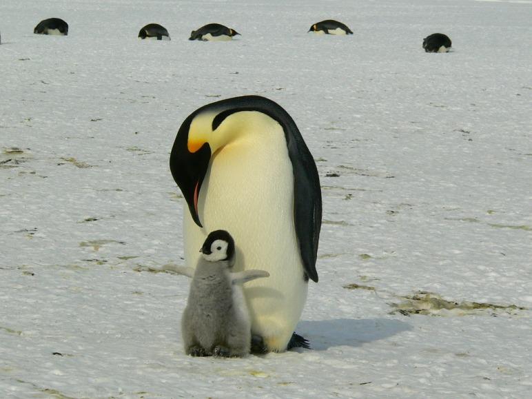 Pinguinmama mit Kind